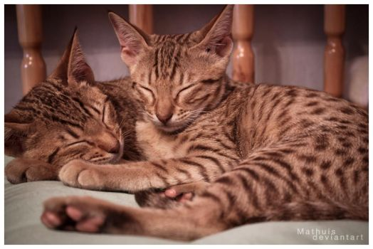 Ocicat II by Mathuis