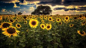 Sunflowers by Levantera