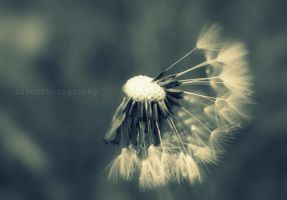 Dandelion Clock by ElinsPhotography