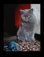My Lille british shorthair .. by Flore-stock