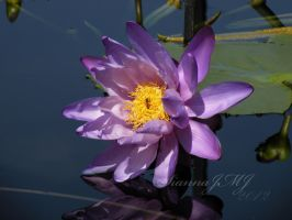 Purple waterlily by siannajmj