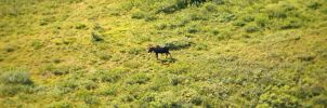 Lone Moose 1 by willgzhou