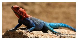 Red-headed Rock Agama 1 by shaggz86