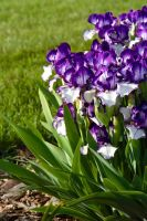 Purple and White Flowers 2008 by azieser