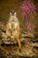 Lord Meerkat by darkcalypso
