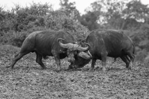 Buffalo Fight by CumbriaCam