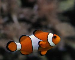 Clownfish by MiqeMorbid