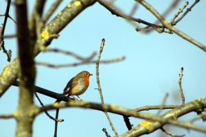 robin in an ash tree by organicvision