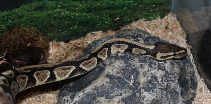 Unnamed Ball Python by Aayrick