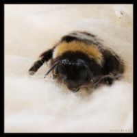 Bombus 2 by Globaludodesign