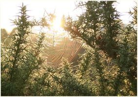Gorse Web by aquifer