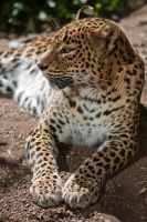 7630 - Sri Lankan Leopard by Jay-Co