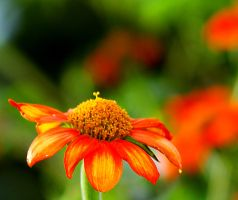 Orange Flower I by LDFranklin