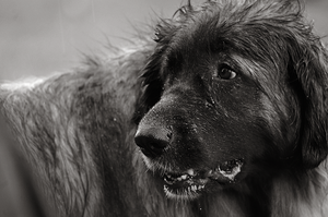 Leonberger by Tapire