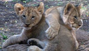 Lion Cubs 7 by HDevers
