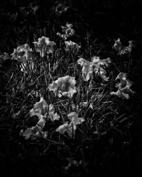 Backyard Flowers In Black And White 23 by thelearningcurve-da