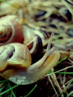 Snail by CocoaDesert