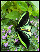 Butterfly Cairns Birdwing by Mogrianne