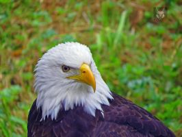 Bald Eagle Eyeing Me by wolfwings1