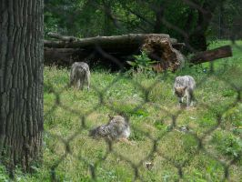 Wolf shot 3 by Chrisnorris44