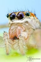 Dimorphic Jumping spider - Maevia inclemens by ColinHuttonPhoto