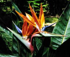 Birds of paradise by drspoon