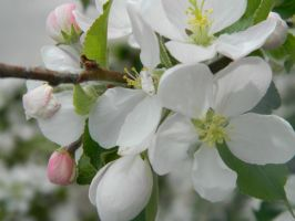 Apple Blossom by xox-Sasuke-rox-xox