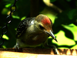 Red-Bellied Woodpecker by Kabrial
