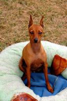 Miniature Pinscher by OurCoreKonvictions