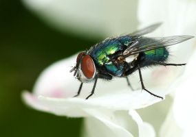 The green bottle fly III by Tuinhek