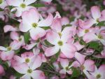 My Mother's Dogwood Tree by LilyBlight