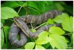 A Water Snake by TheMan268
