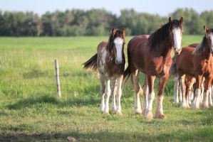 Clydesdales 12 by okbrightstar-stock