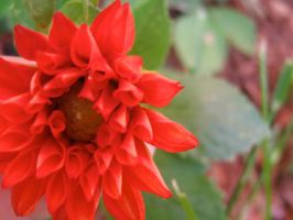 red flower by sarahbbutler
