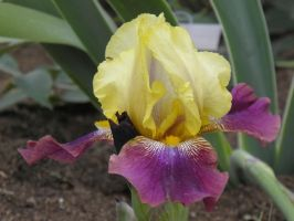 yellow and purple Iris by bwall49