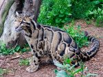 The Grreeat Clouded Leopard by moggies