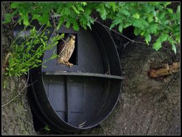 Kestrel Owl Box by cycoze