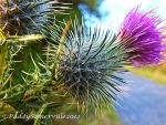Thistle plume 2 by paddyola