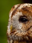 Tawny Owl 02 - Jun 12 by mszafran
