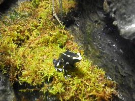 Poison Frog 3 by lady-warrior