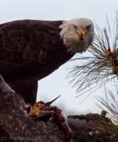 Bald Eagle 7 by MartinGollery