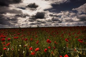 Poppys by Jaagaa