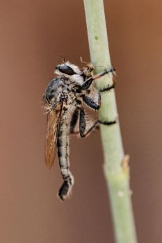 Robber Fly with Prey by Monkeystyle3000