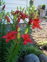 Red Asiatic Lily 7 by racheltorres921