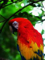Scarlet Macaw 2 by WildsidePhotos