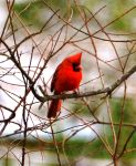 Male Cardinal 2-6-14 by Tailgun2009