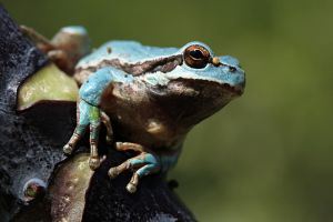 blue tree frog by lisans