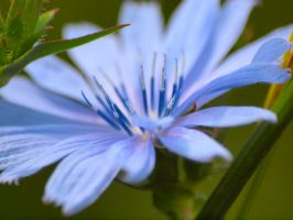 Cornflower Blue by sebastopolgoose