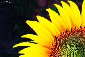 Sun Flower by cristilaceanu