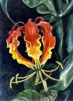 Flame Lily by WillemSvdMerwe